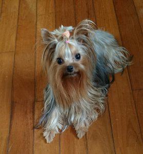 ヨークシャーテリア可愛い成犬、