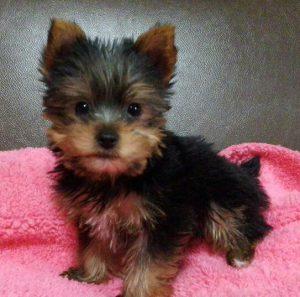 ヨークシャーテリア可愛い子犬、」