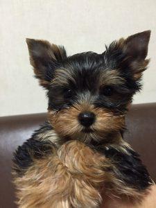 ヨークシャ-テリア可愛い子犬、