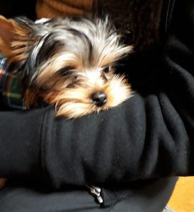 ヨークシャ-テリア可愛い子犬、」