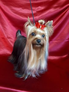 ヨークシャーテリア成犬、