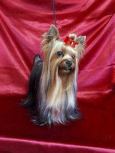 ヨークシャーテリア可愛い犬、