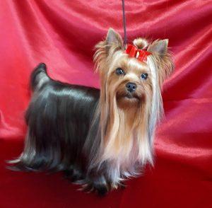 ヨークシャーテリア綺麗な成犬、