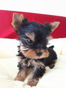 ヨークシャーテリア可愛い子犬、