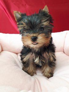 ヨークシャt-テリア可愛い子犬、