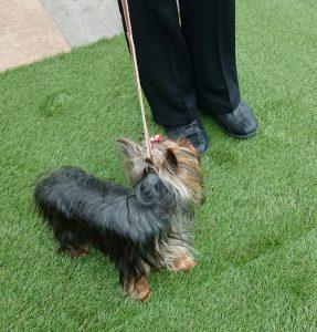 ヨークシャーテリアお散歩子犬、