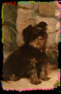 ヨークシャ-テリア成犬、