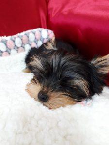 ヨークシャーテリア、可愛い、子犬、寝顔、