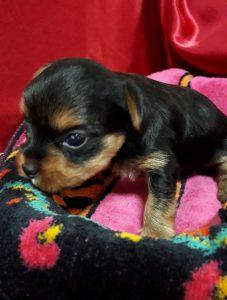 ヨーク―シャーテリア可愛い子犬、