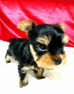 ヨークシャテリア可愛い子犬、
