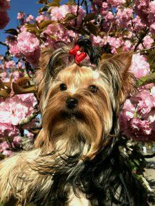 ヨークシャーテリア可愛い子犬お花見、