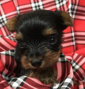 ヨークシャーテリア可愛い子犬の写真、