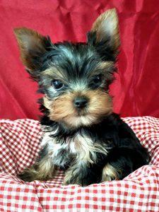 可愛いヨークシャーテリア子犬写真、
