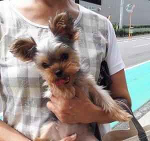 ヨークシャーテリア可愛い子犬写真、