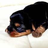 可愛いヨークシャーテリア子犬、