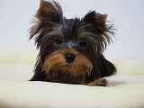 可愛いヨークシャーテリア子犬写真