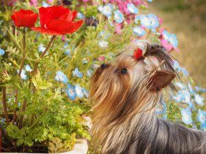 ヨークシャーテリア可愛い写真、