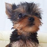 可愛いヨークシャーテリア仔犬写真、