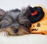 ヨークシャーテリア可愛い仔犬写真、