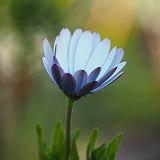 青い花写真、