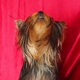 ヨークシャーテリア仔犬可愛い写真、